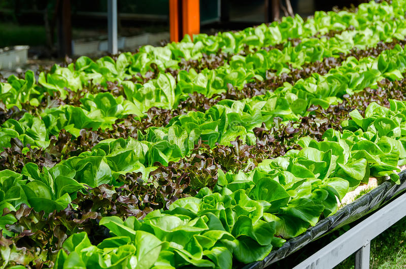Generi differenti di coltivazione organica di lattuga immagini stock libere da diritti