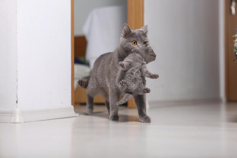 Generi il gatto che prende il suo bambino nella bocca immagini stock libere da diritti