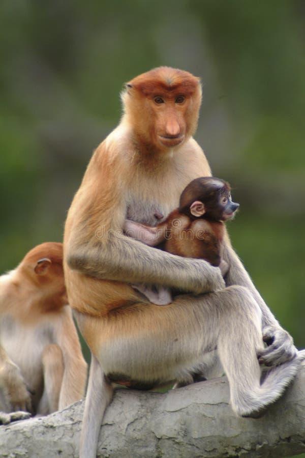 Generi la nasica con il bambino, Kinabatangan, Sabah, Malesia immagine stock