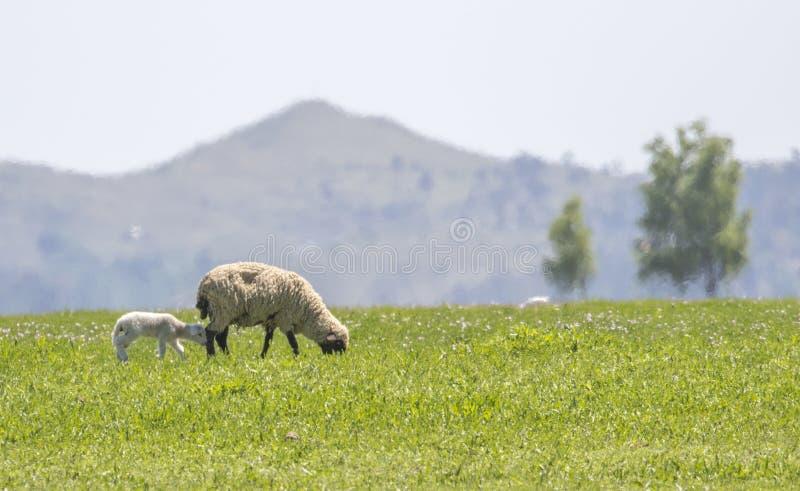 Generi le pecore che pascono nel prato con il suo agnello fotografia stock libera da diritti