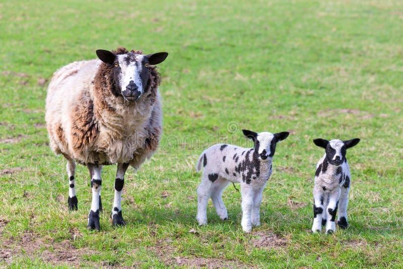 Generi le pecore con due agnelli neonati in primavera fotografia stock