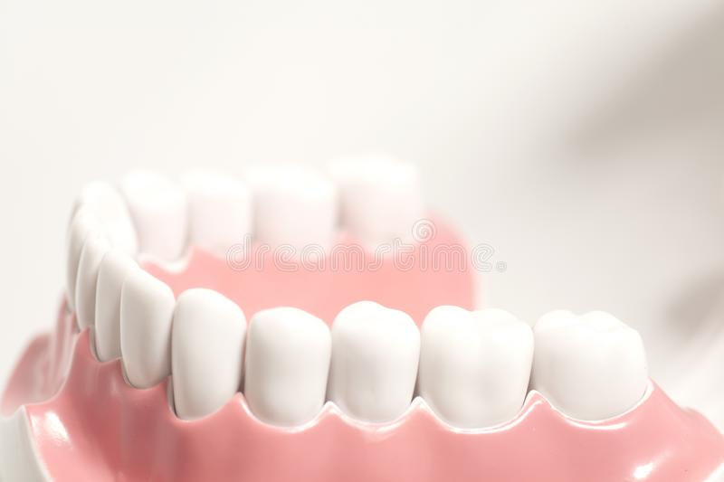 Generic dental human teeth model. On white background royalty free stock images