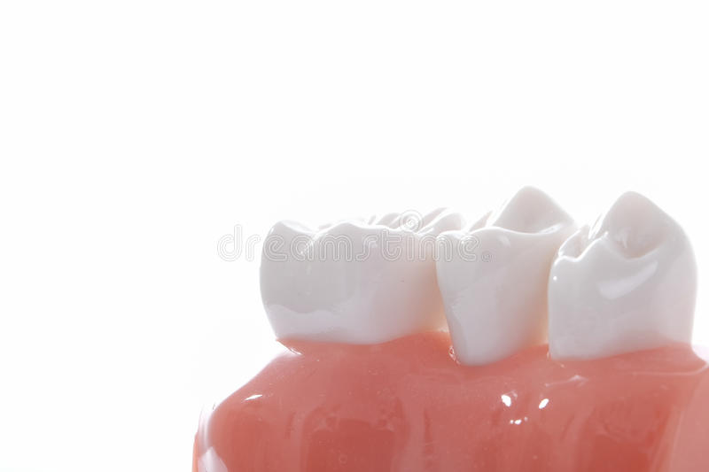 Generic dental teeth model royalty free stock photos