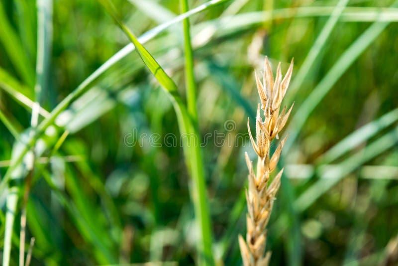 Generisk vegetation inklusive en vete- eller kornstjälk arkivfoton