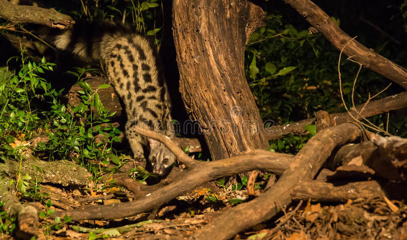 Genet cat at night royalty free stock photography