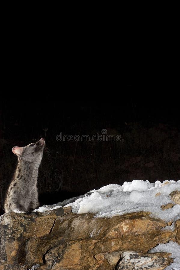 Genet comum - genetta do Genetta, em uma rocha com neve fotografia de stock