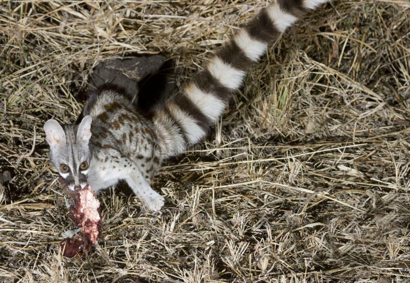 Genet comum que come uma isca. imagem de stock
