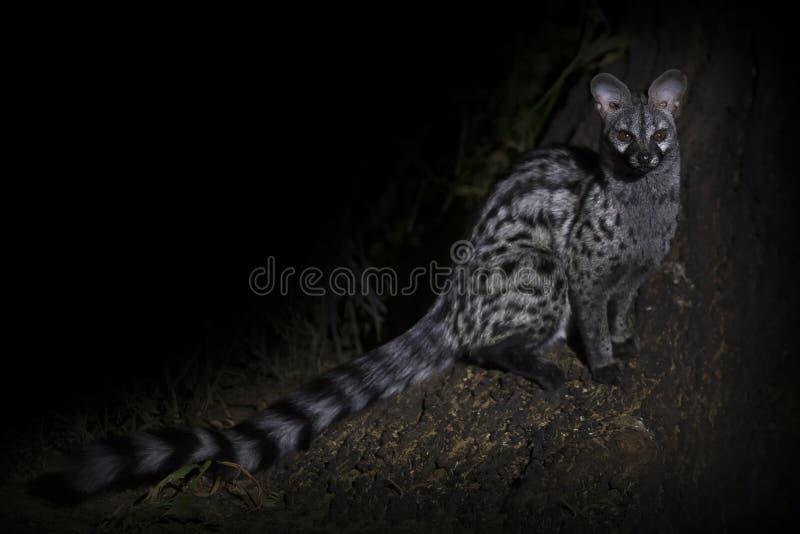 Genet fotograferade på natten genom att använda ett strålkastaresammanträde royaltyfri fotografi