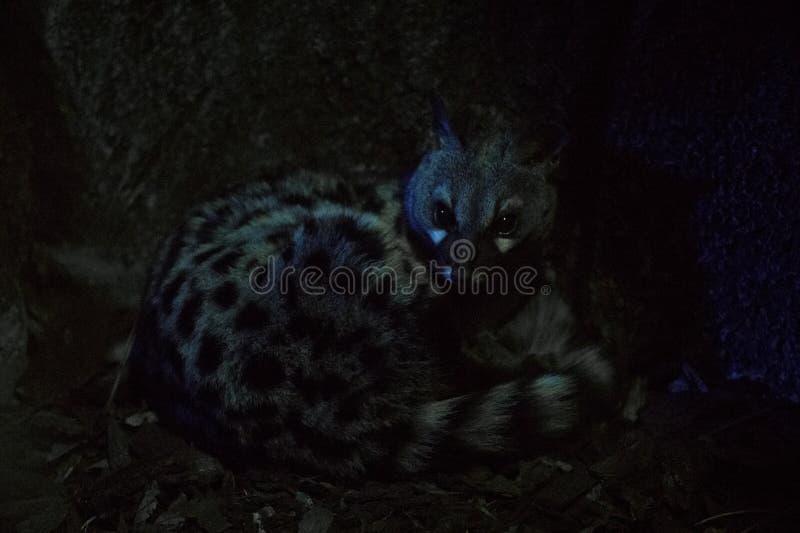 Genet nocturno ocultado en la oscuridad fotografía de archivo libre de regalías