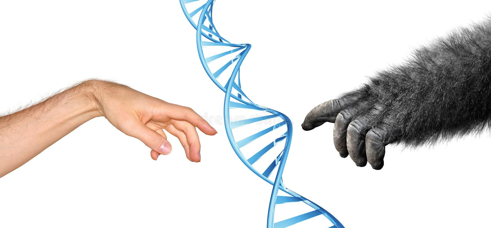 Genetic common ancestry concept for evolution of primates royalty free stock images