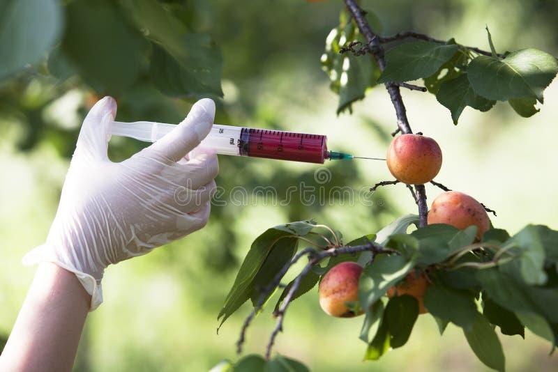 Genetically modified fruit. Genetically modified food. Genetic engineering stock images