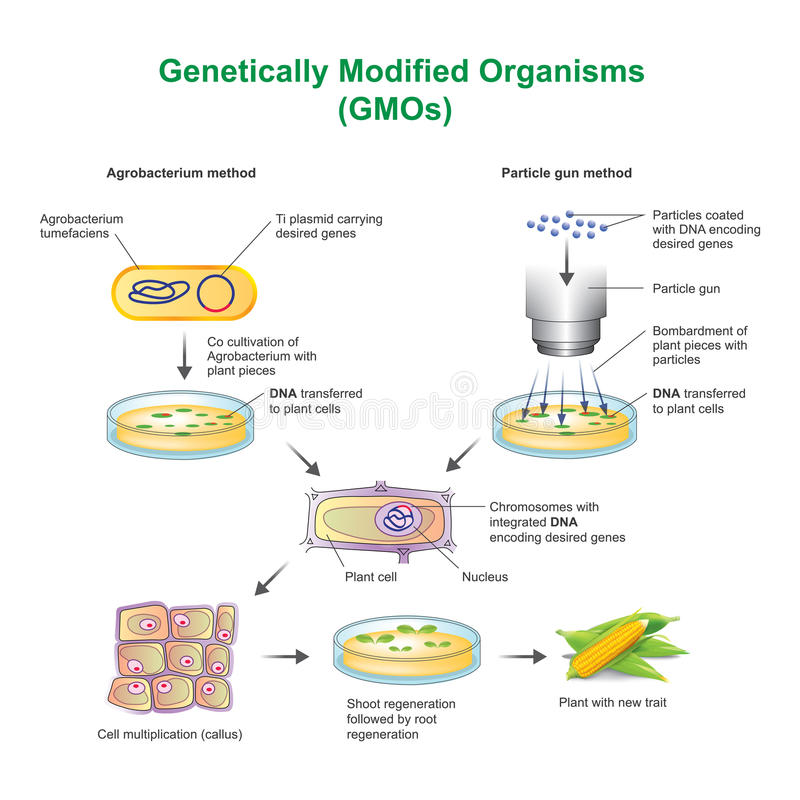 Genetically Modified Organisms GMOs. A genetically modified organism GMO is an organism or microorganism whose genetic material has been altered to contain a vector illustration