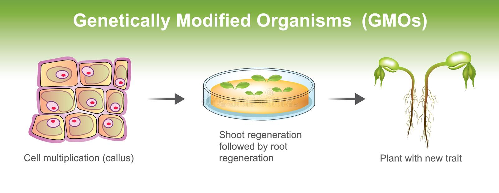 Genetically Modified Organisms. Genetically modified organism GMO is an organism or microorganism whose genetic material has been altered to contain a segment of vector illustration