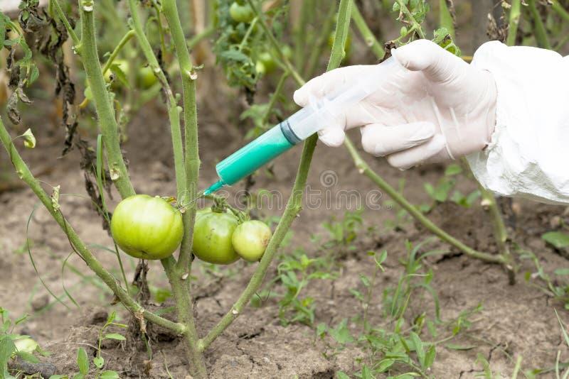 Genetically modified vegetable. Genetically modified food. Genetic engineering stock image