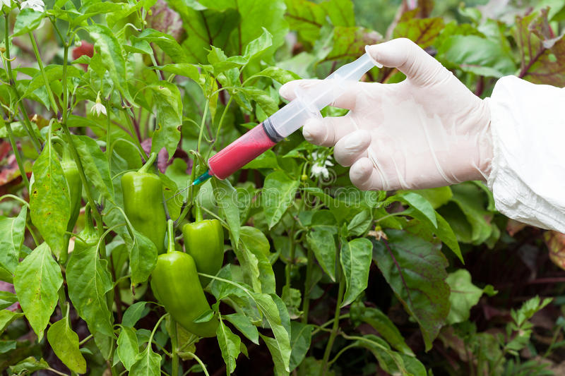 Genetically modified vegetable. Genetically modified food. Genetic engineering royalty free stock photos