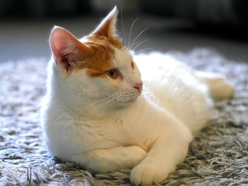 Gengibre e gato branco imagem de stock royalty free
