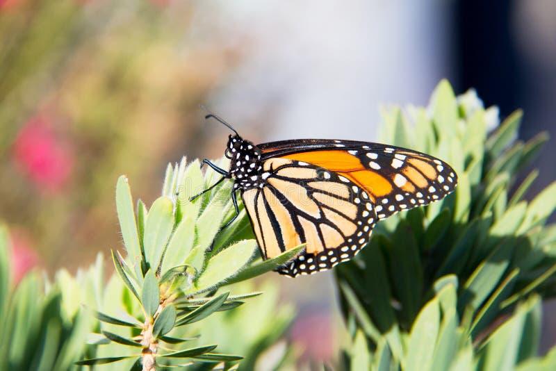 Genialna pomarańcze i czarny monarchiczny motyl z czerni żyłami i biel punktami na skrzydłach fotografia royalty free