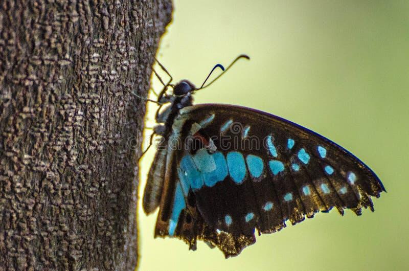 Genialny błękitny zbliżenie backlit motyl matka natura zdjęcie stock