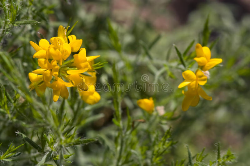 Genista Hispanica stock images