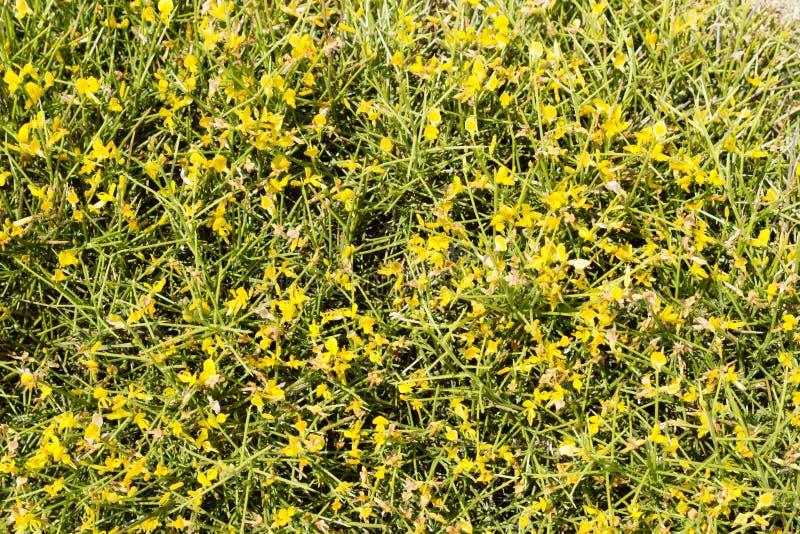 Genista spetsig buske med gula blommor fotografering för bildbyråer