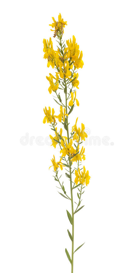 Genista tinctoria royalty free stock photo