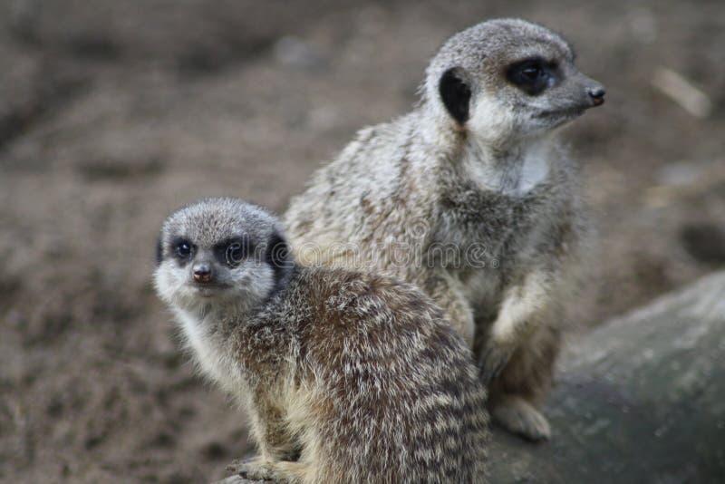 Genitore e bambino di Meerkat fotografie stock