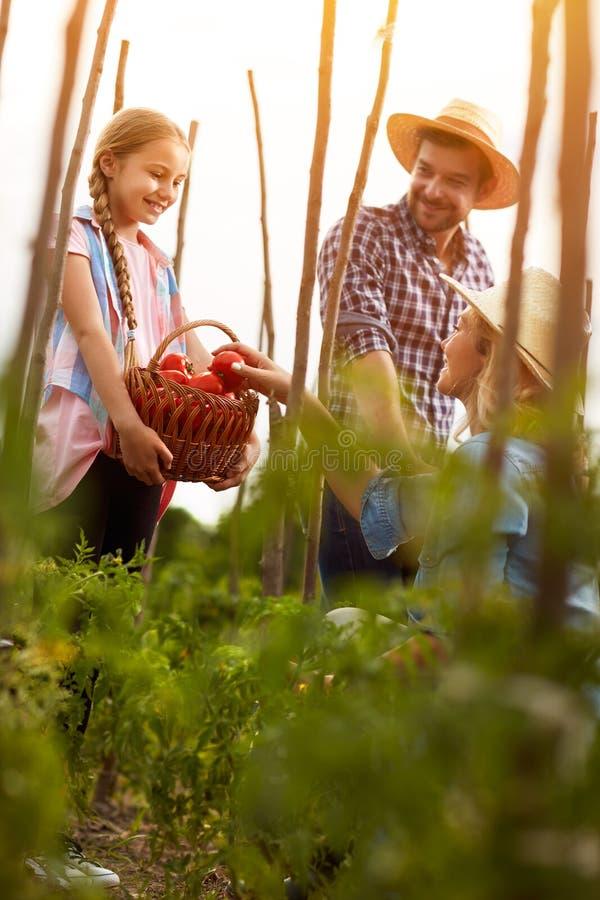 Genitori d'aiuto della ragazza in pomodori di raccolto immagine stock