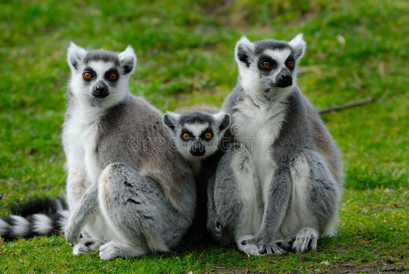 Genitori e lemur ring-tailed del bambino immagini stock