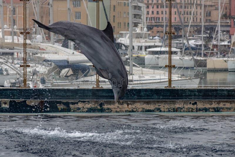 GENOA, ITÁLIA - 4 de março de 2018 - golfinhos do aquário de genoa foto de stock