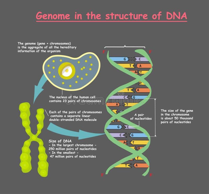 Genoma en la estructura de la DNA en fondo gris secuencia del genoma El Telomere es una secuencia de repetición de ubicación dobl ilustración del vector