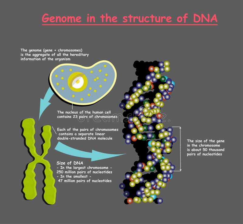 Genoma en la estructura de la DNA secuencia del genoma El Telomere es una secuencia de repetición de DNA doble-trenzada situada e ilustración del vector