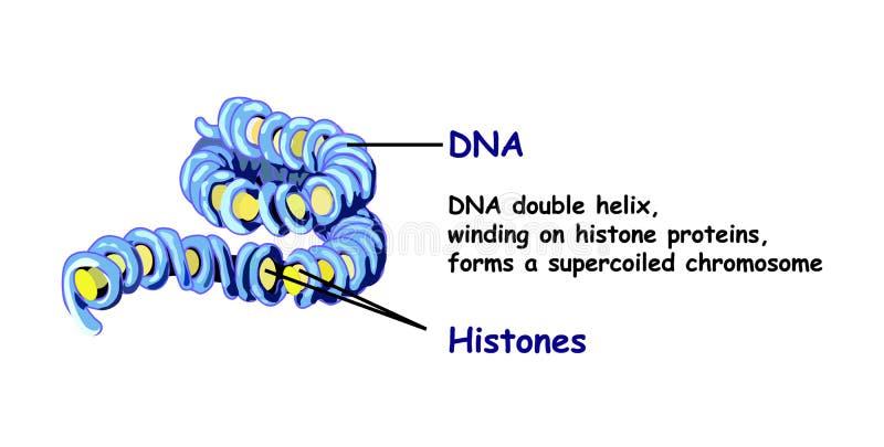 Genoma na estrutura do ADN sequência do genoma Telo mero é uma sequência de repetição do ADN dobro-encalhado ilustração do vetor