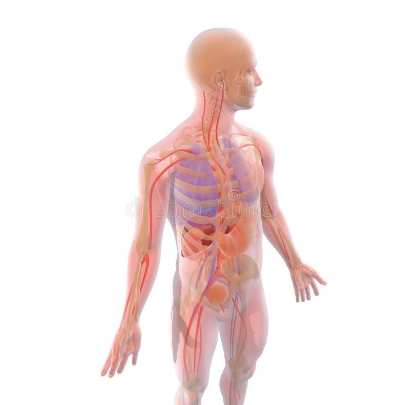 Genomskinlig illustration 3D av inre visande organ för människokropp, med naturliga färger - Ilustracià ³ n stock illustrationer