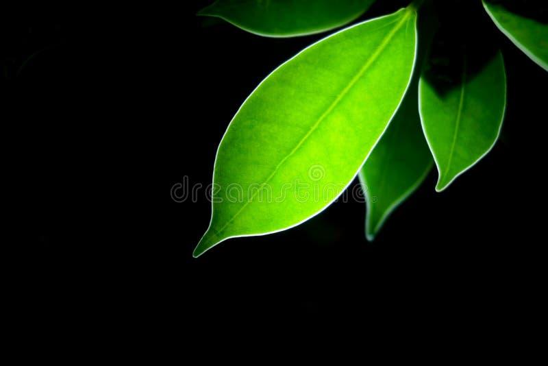 Genomskinligt grönblad med svart arkivbild