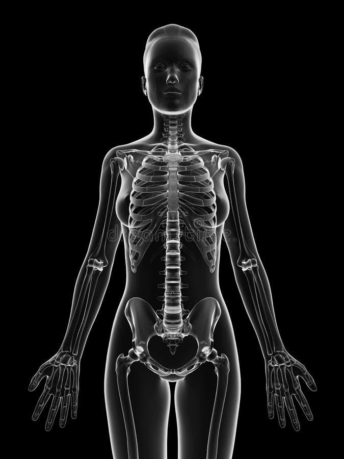 Genomskinligt kvinnligt skelett - övrekropp stock illustrationer