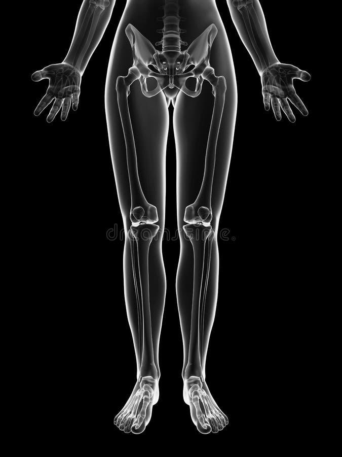 Genomskinligt kvinnligt skelett - benben stock illustrationer