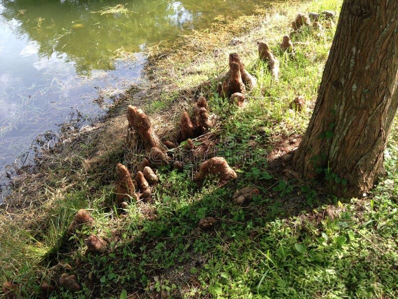 Genoux d'arbre de Distichum de Taxodium (Cypress chauve) à côté d'étang photos stock