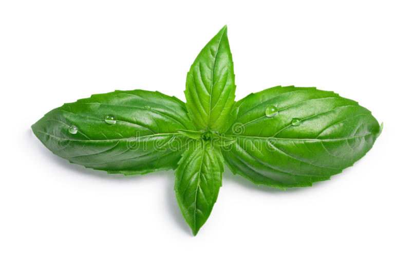 Genovese basil Ocimum basilicum, top view, paths. Genovese sweet basil Ocimum basilicum leaves. Top view, clipping paths, shadow separated stock photos