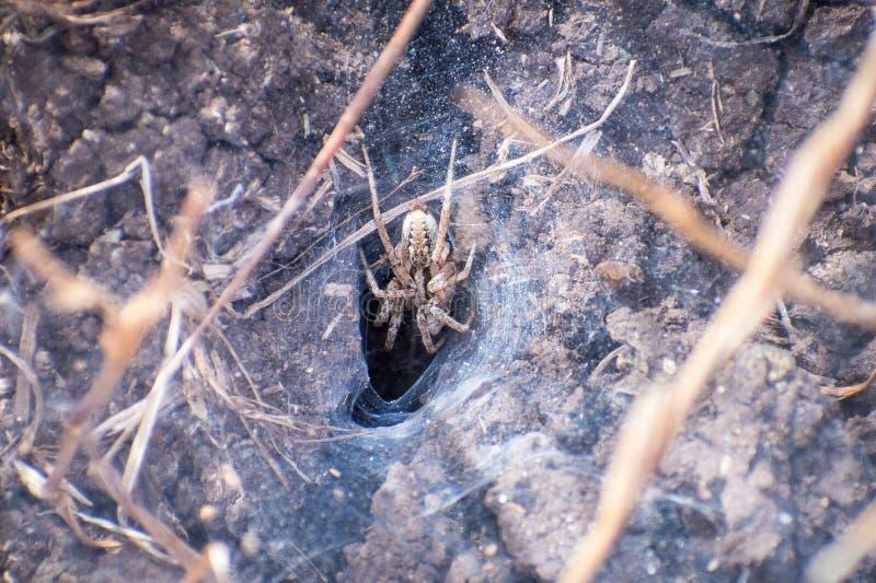 Genre Agelenopsis, famille Agelenidae d'araignée d'herbe sur son Web d'entonnoir, région de San Francisco Bay du sud, la Californ images stock