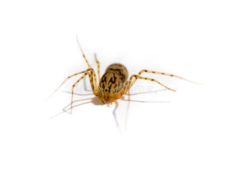 genre araignée de scytodes photos stock