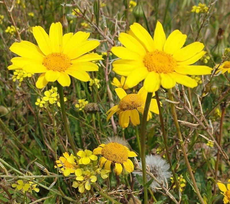 Genre de chrysanthèmes photo stock
