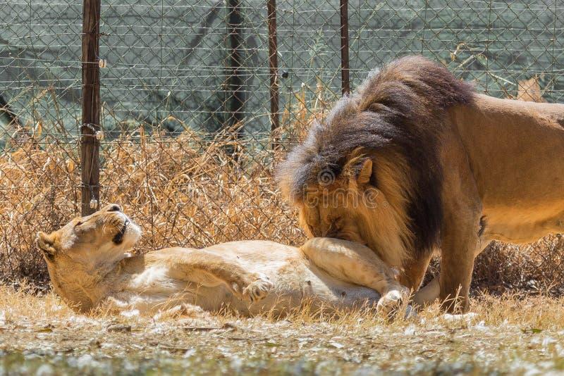 Genre de lion d'amour photos libres de droits