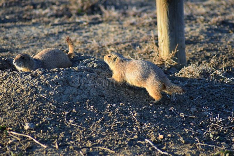Genre ludovicianus de chien de prairie de Cynomys à queue noire dans le rongeur creusant sauvage et herbivore, dans l'ecosyst de  image libre de droits