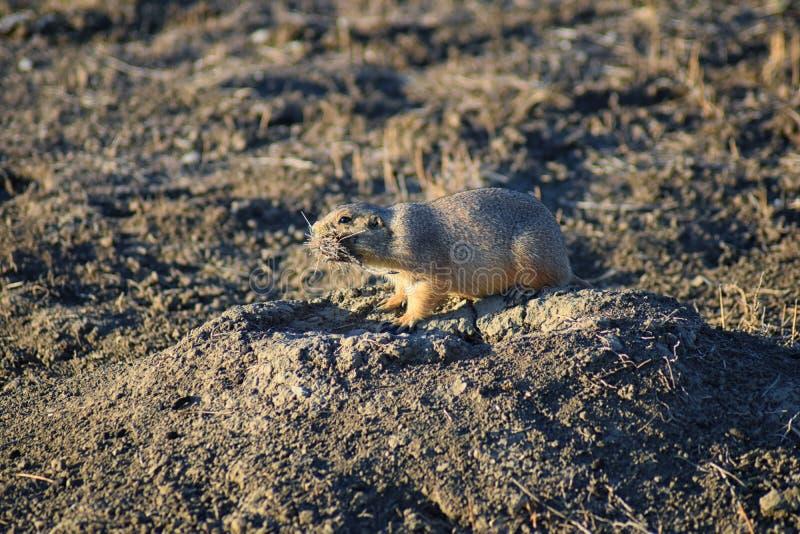 Genre ludovicianus de chien de prairie de Cynomys à queue noire dans le rongeur creusant sauvage et herbivore, dans l'ecosyst de  photographie stock libre de droits