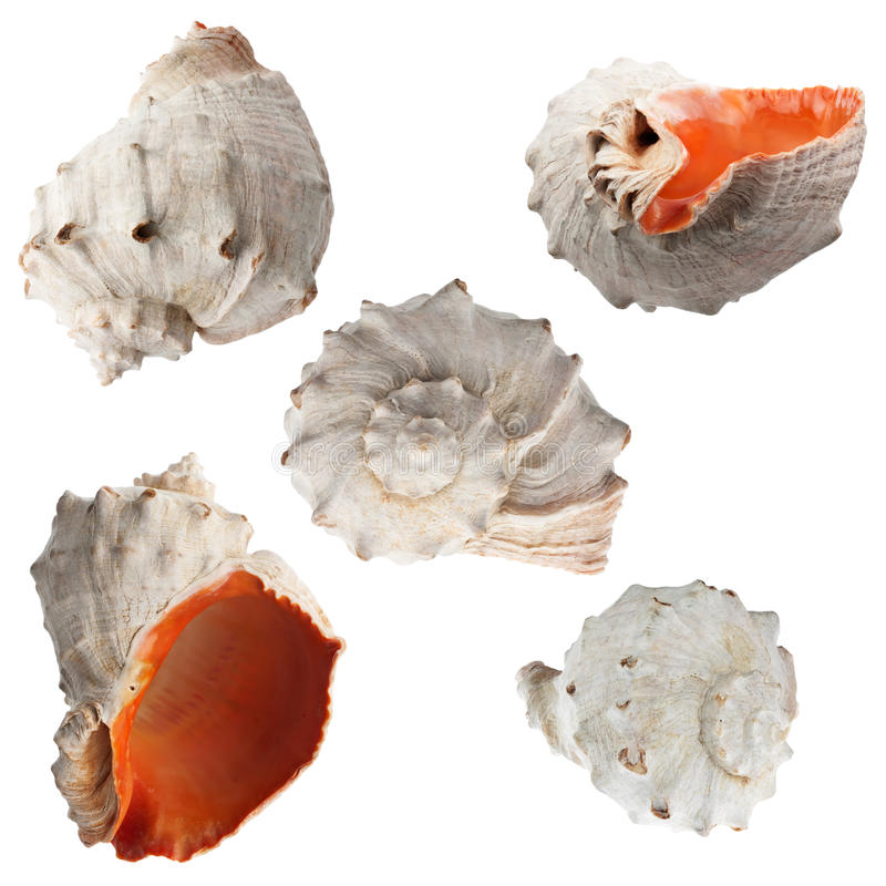 Genre marin de coquille de coque de chaque trimestre images stock