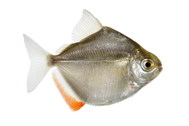 Genre metynnis de dollar en argent instruisant des poissons d'aquarium photographie stock libre de droits