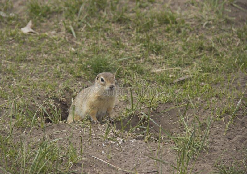 Genre rongeurs de Gopher de la famille d'écureuil photos libres de droits