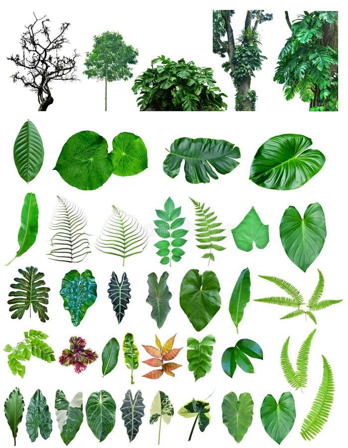 Genres d'arbres forestiers et de feuille tropicaux asiatiques, d'isolement sur le fond blanc images stock