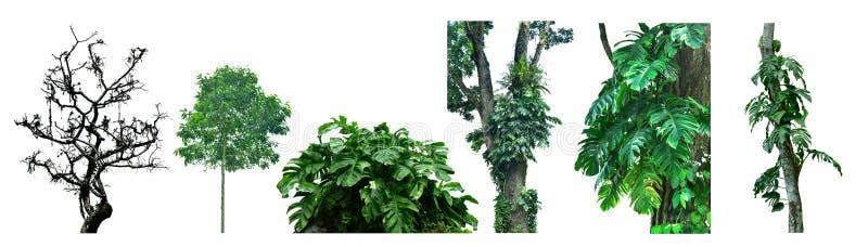 Genres d'arbres forestiers tropicaux asiatiques, d'isolement sur le fond blanc photographie stock
