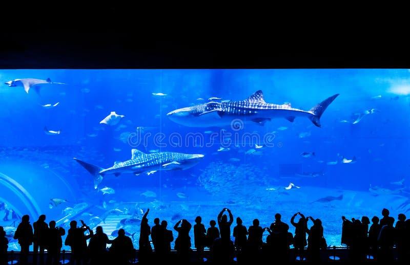 Gente que mira el tiburón de ballena entre otros pescados en el Churau imagen de archivo